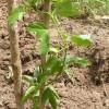 Passion fruit Ithanga - kliknutím zobrazíte obrázek v plné velikosti