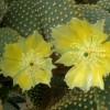 Opuntia microdasys - kliknutím zobrazíte obrázek v plné velikosti