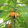Dozrávající papaja na stromě - kliknutím zobrazíte obrázek v plné velikosti