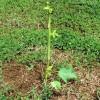 Mladá papája - kliknutím zobrazíte obrázek v plné velikosti