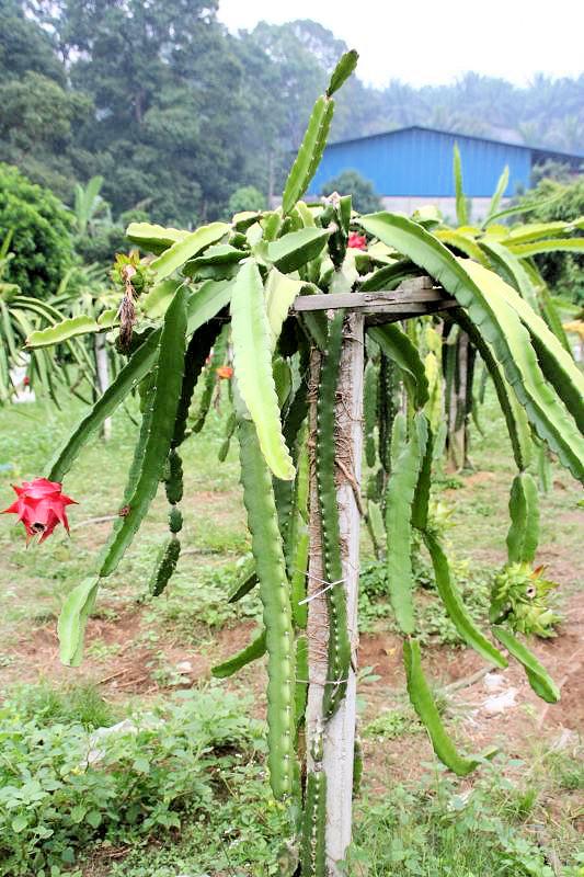 Rostlina Pitaya