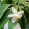 Květ pomela - kliknutím zobrazíte obrázek v plné velikosti