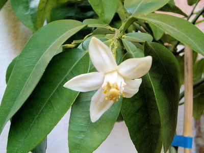 Květ pomela