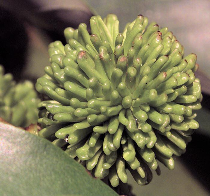 Mladé plody rambutanu