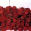 Rambutan - kliknutím zobrazíte obrázek v plné velikosti