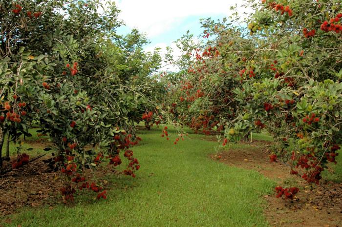 Rambutan - strom