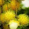Rambutan - žlutá varianta - kliknutím zobrazíte obrázek v plné velikosti