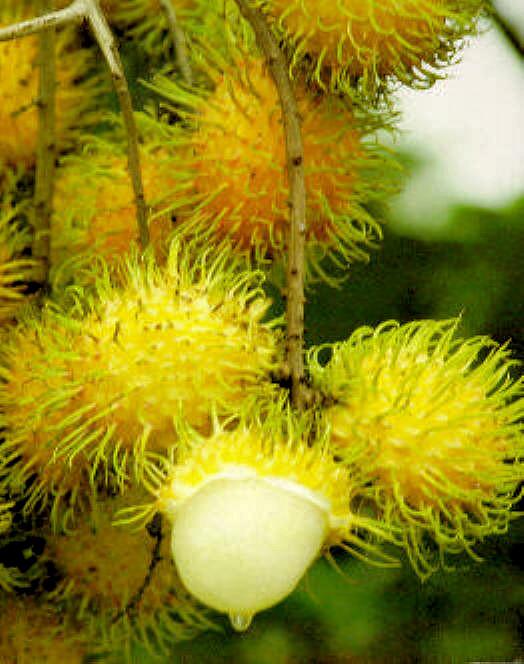 Rambutan - žlutá varianta