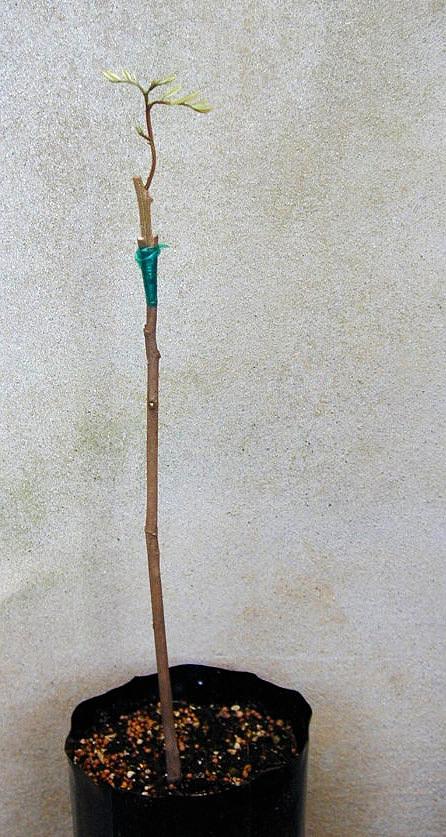 Mladá rostlina rambutanu
