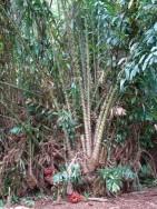 Salak - rostlina - kliknutím zobrazíte obrázek v plné velikosti