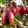 Tamarillo na stromě - kliknutím zobrazíte obrázek v plné velikosti