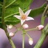 Květ tamarilla - kliknutím zobrazíte obrázek v plné velikosti