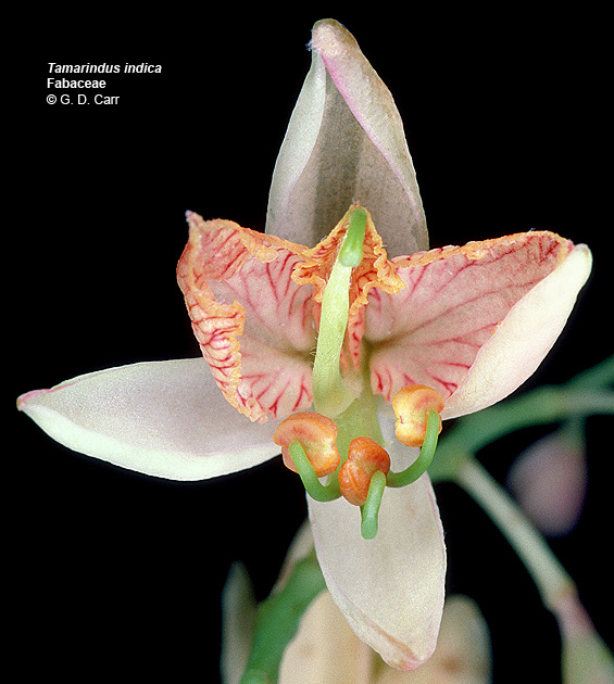 Květ tamarindu