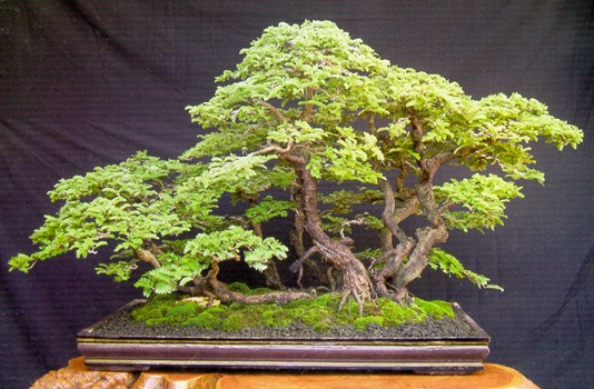 Tamarind jako bonsai