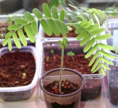 Mladá rostlinka tamarindu