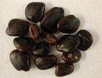 Semena tamarindu