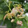 Květy tamarindu - kliknutím zobrazíte obrázek v plné velikosti