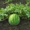 Vodní meloun - roslina - kliknutím zobrazíte obrázek v plné velikosti