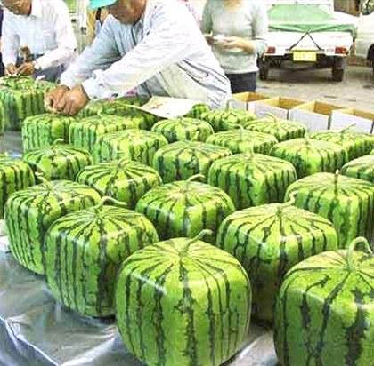 Hranatý meloun